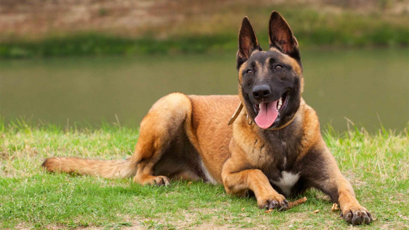 Anjing Malinois Harga Cara Merawat Makanan