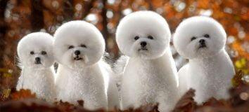 Anjing Pudel
