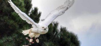 Burung Hantu Putih