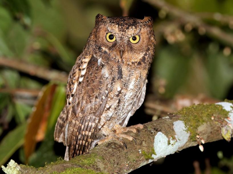 Burung Sulawesi