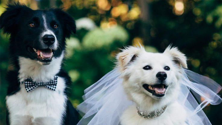 Cara Mengawinkan Anjing