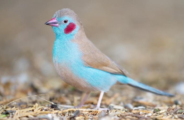 Cordon-bleu Pipi Merah