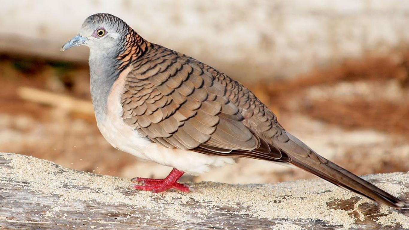 Daftar Harga Burung Perkutut Berdasarkan Jenis 2021