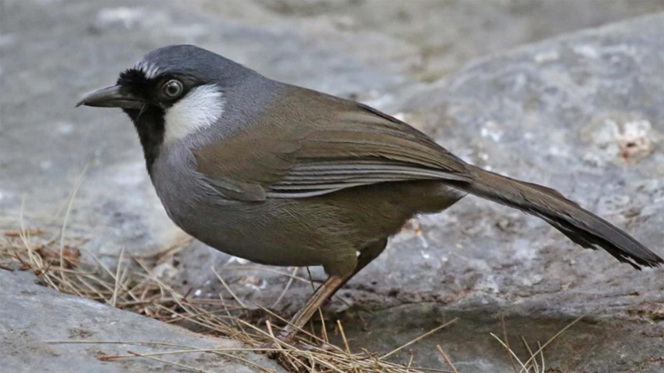 √ Daftar Harga Burung Poksay Berdasarkan Jenis 20
