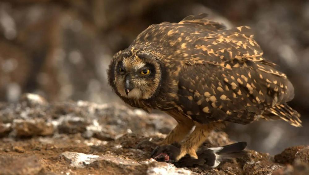 Tawny Owl atau Brown Owl