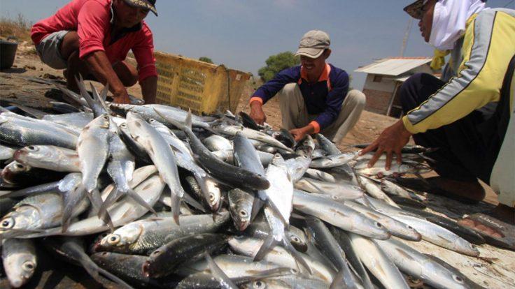 Umpan Ikan Bandeng