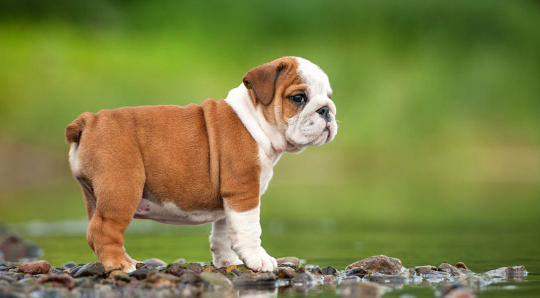 adopsi anjing bulldog
