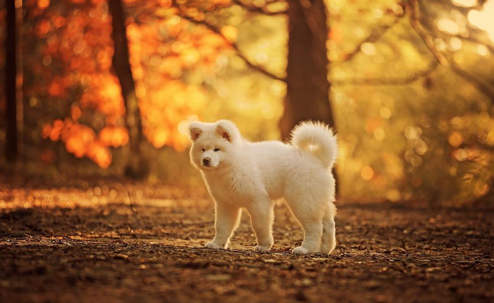 akitas puppies