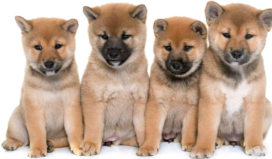 Anjing Shiba Inu Harga Karakter Cara Merawat Makanan