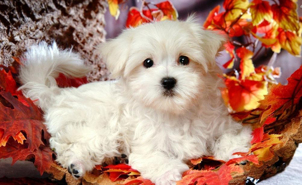 anjing maltese coklat