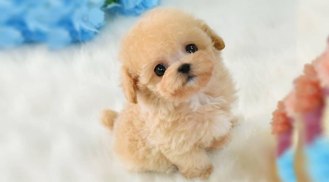 anjing pudel coklat