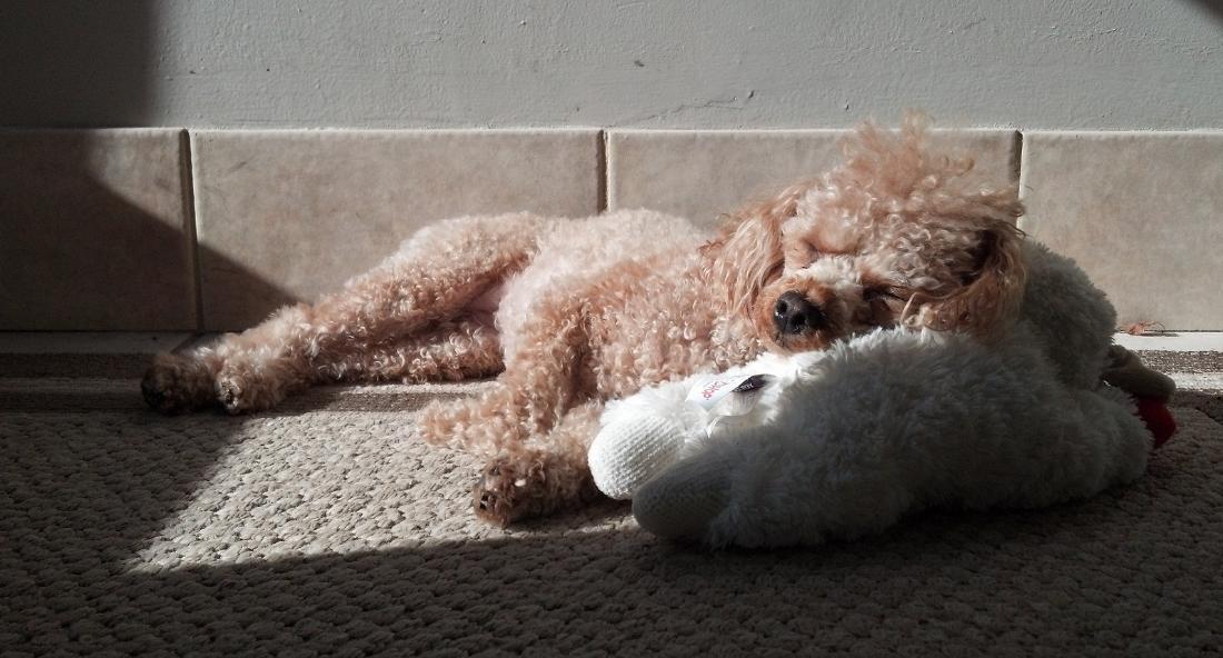anjing pudel putih