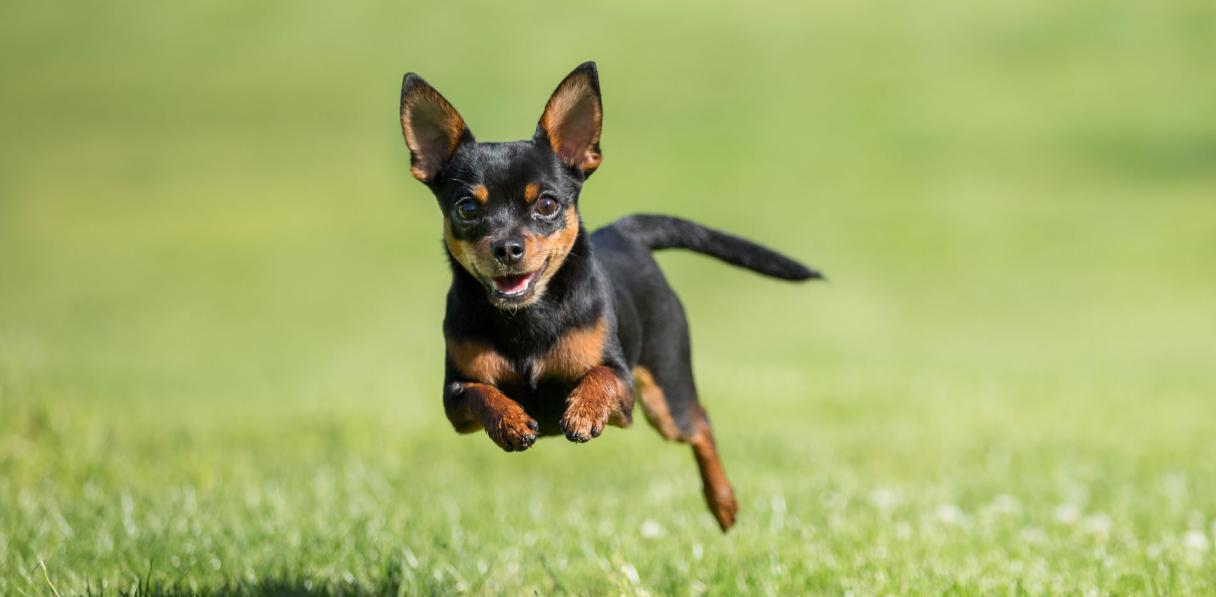 bahaya anjing chihuahua