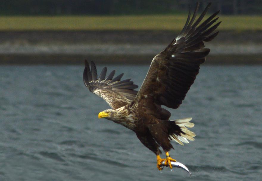 burung elang raksasa
