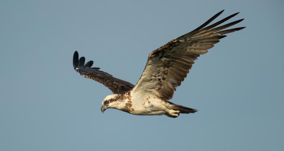 burung elang terbesar di dunia