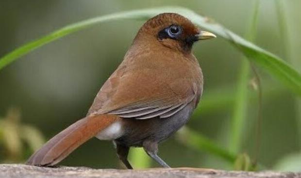 burung poksay mandarin