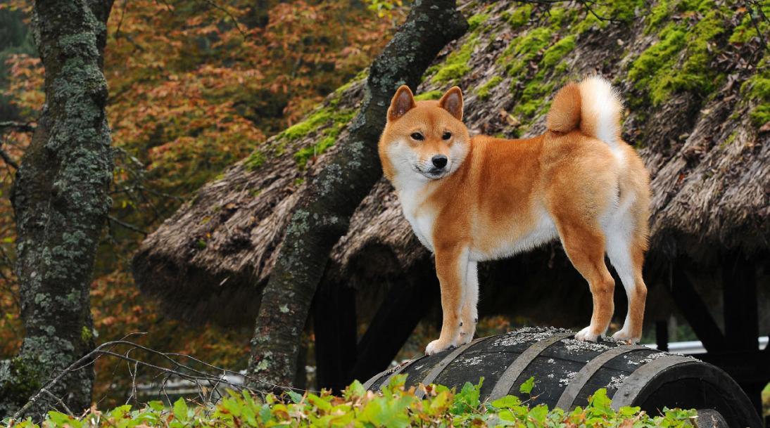 cara merawat anjing shiba inu