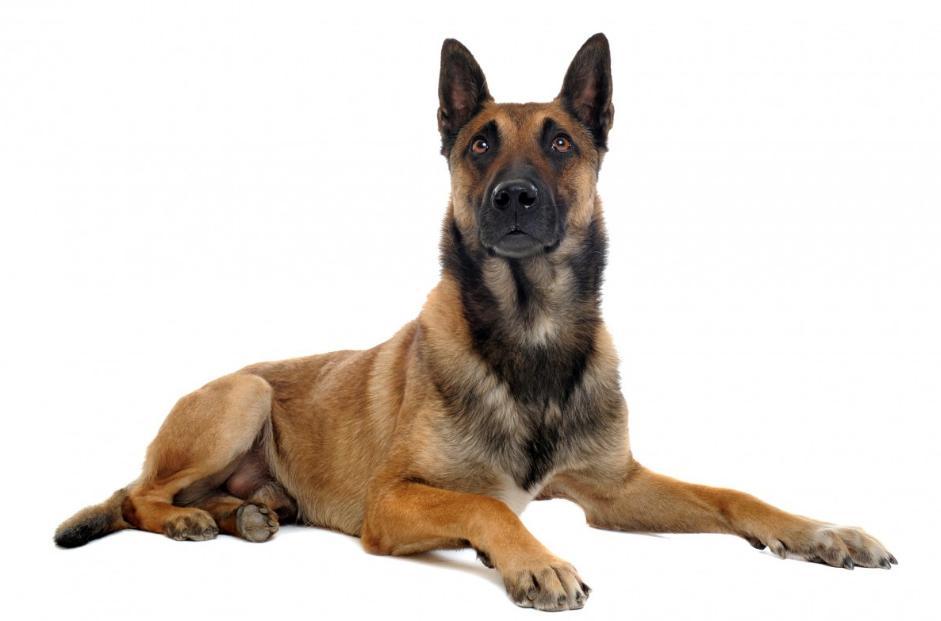 ciri-ciri anjing belgian malinois