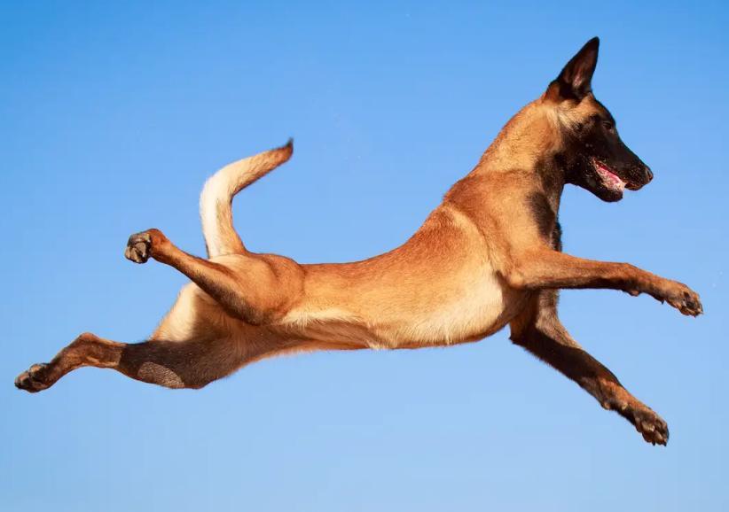 gambar anjing malinois
