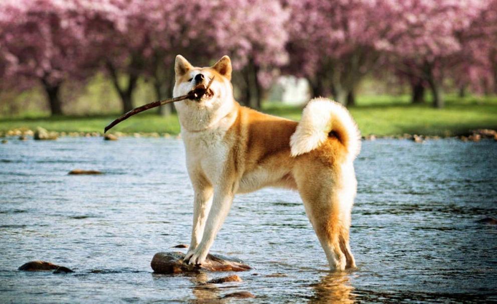 harga anjing akita 2020