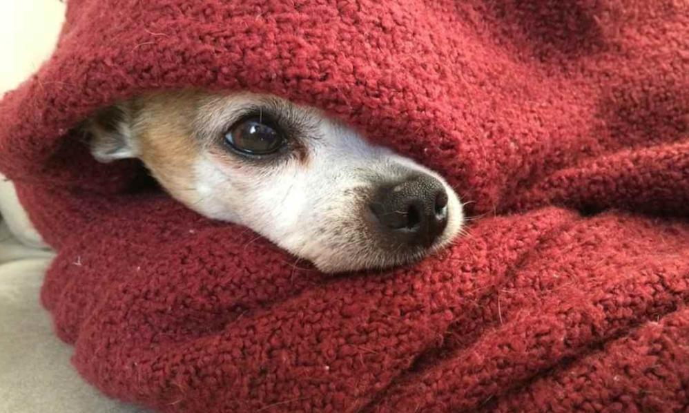 harga anjing chihuahua 2020