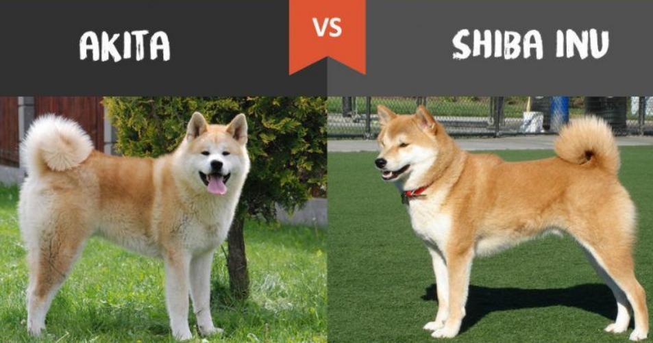 harga anjing shiba inu 2020