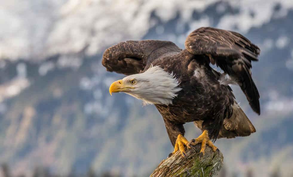 harga burung elang alap-alap