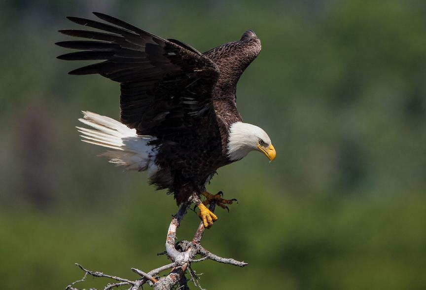 harga elang black kite