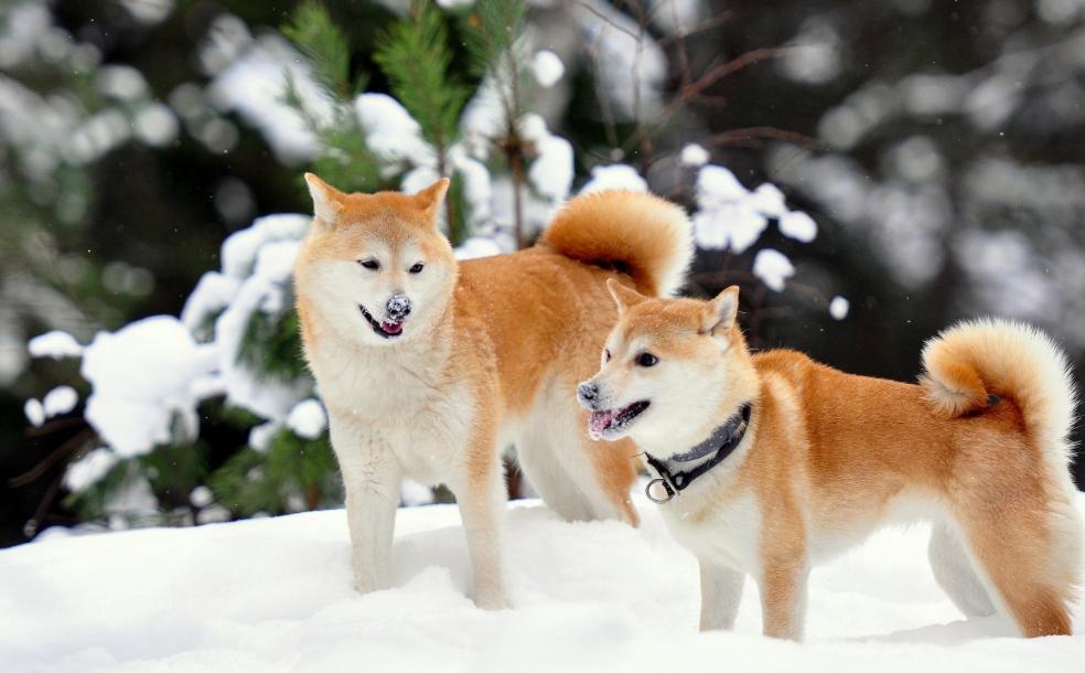 hibah anjing akita
