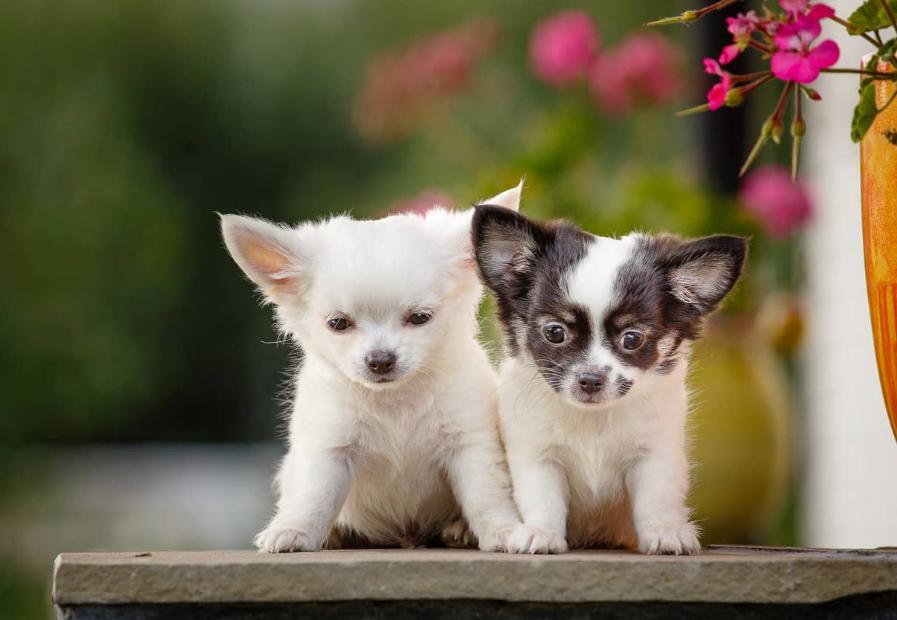 jual anjing chihuahua murah hanya 500rb only