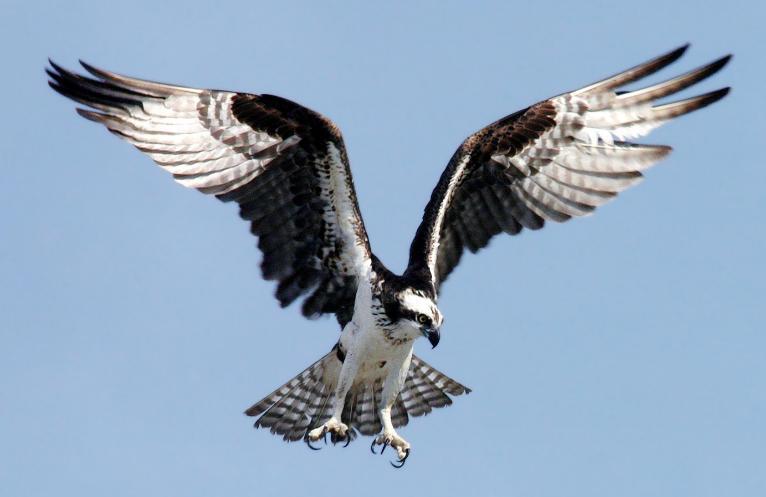 jual burung elang jogja