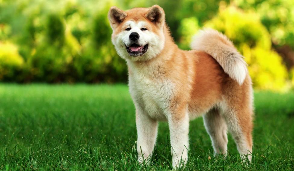karakter anjing american akita