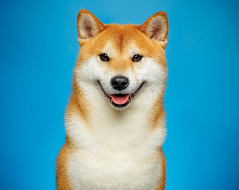 karakter anjing shiba inu