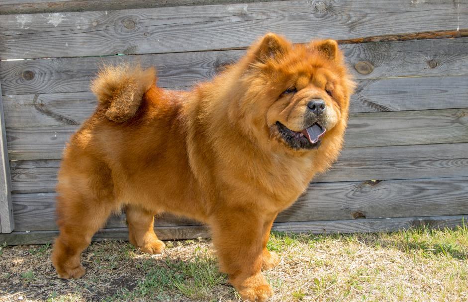 kelebihan dan kekurangan anjing chow chow