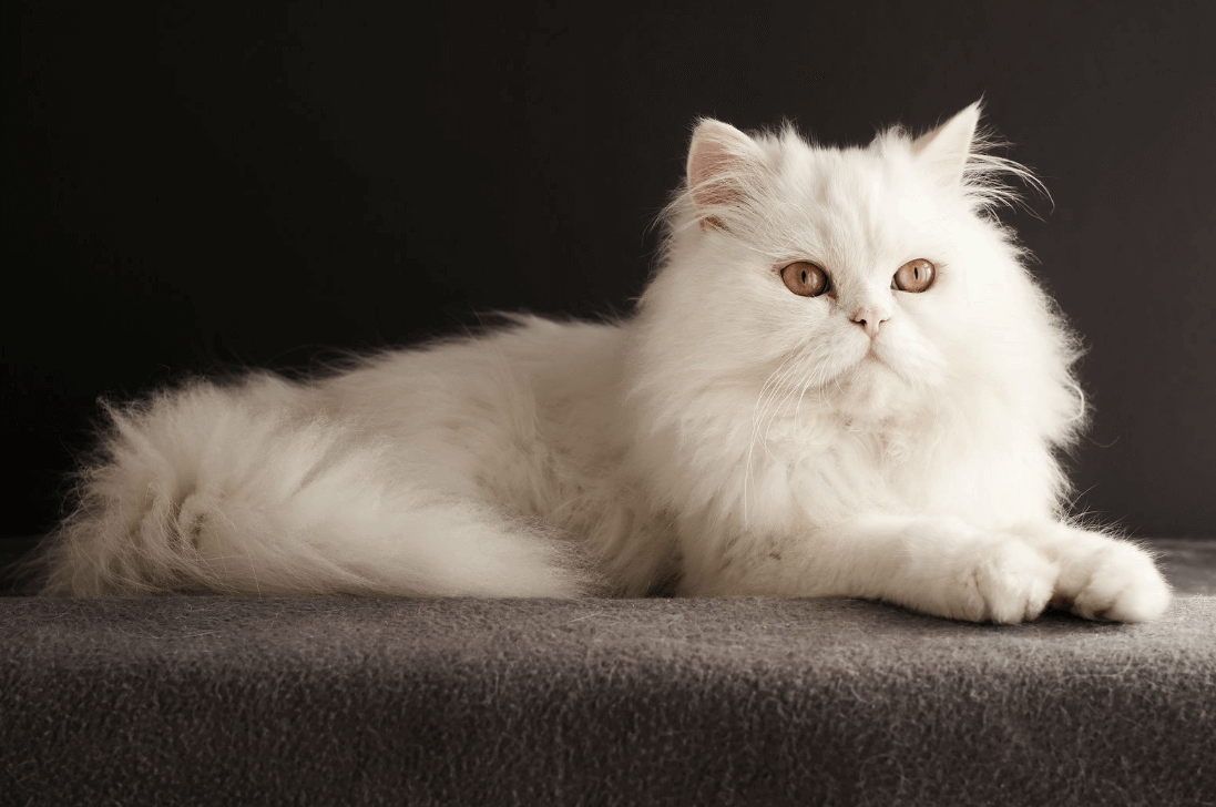 Persian cat classification