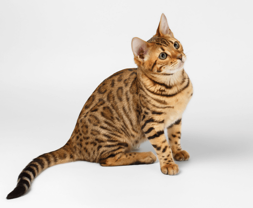 bengal cat classification