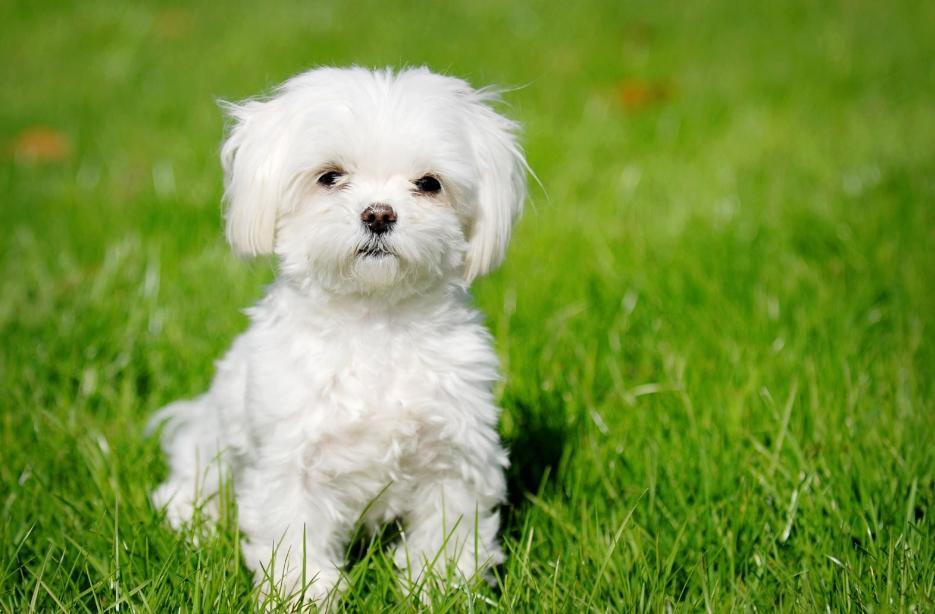 makanan anjing maltese