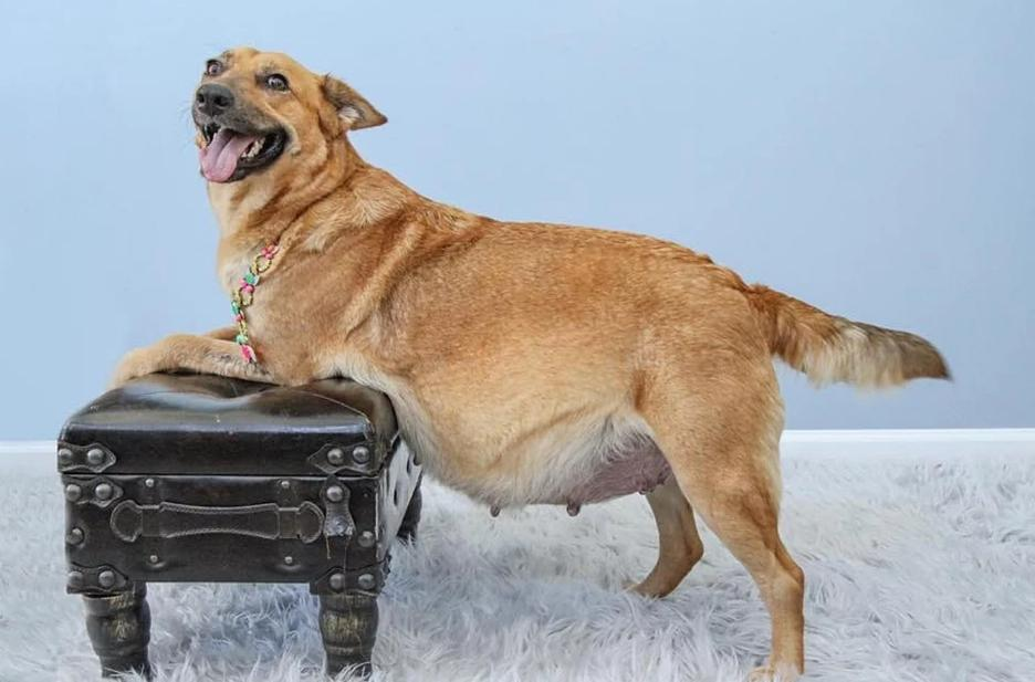 pragnant dog