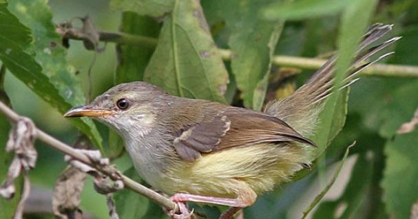 semi bird