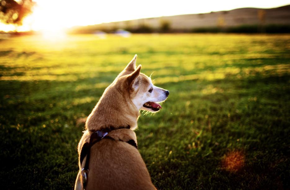 sifat anjing akita