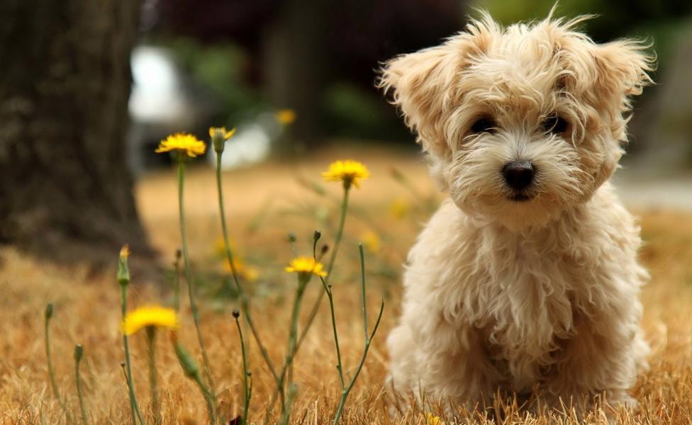 ukuran anjing maltese dewasa